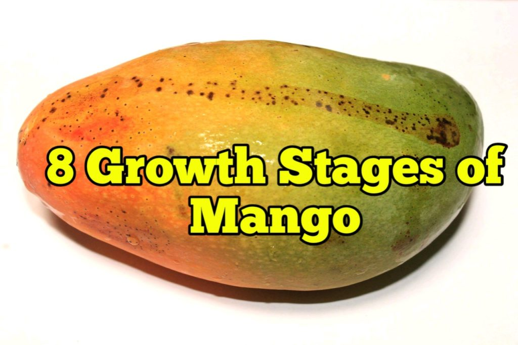 Growth Stages of Mango, Life Cycle