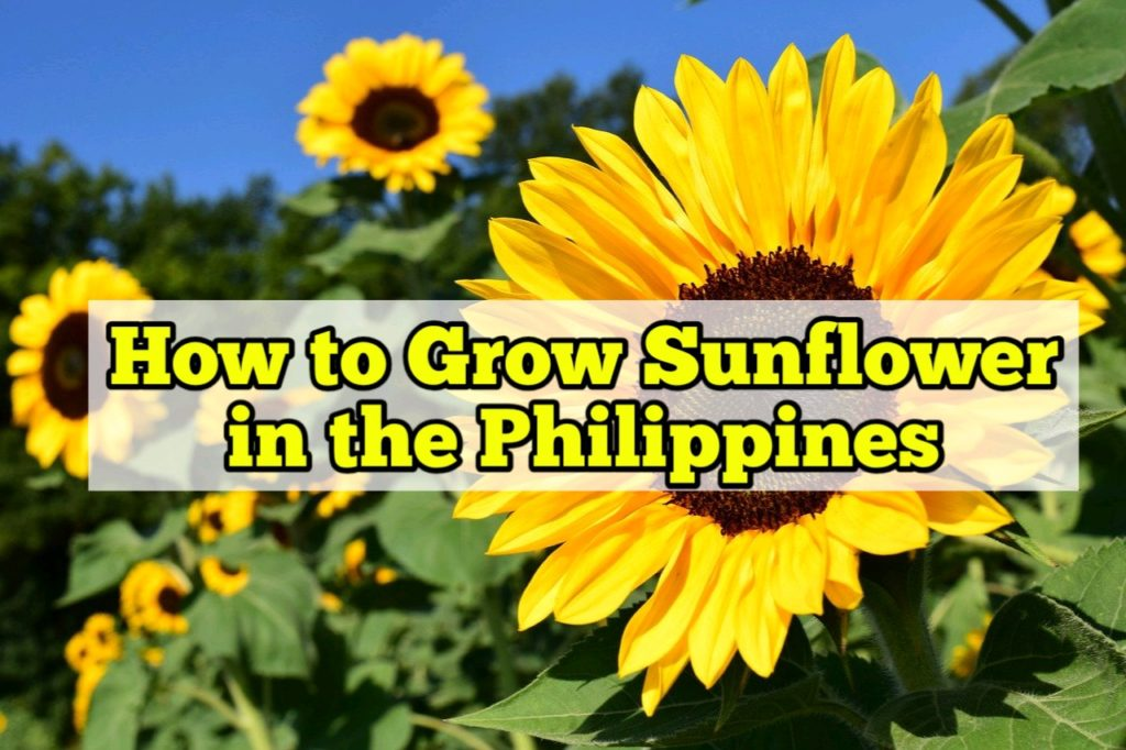 How to Grow Sunflower in the Philippines