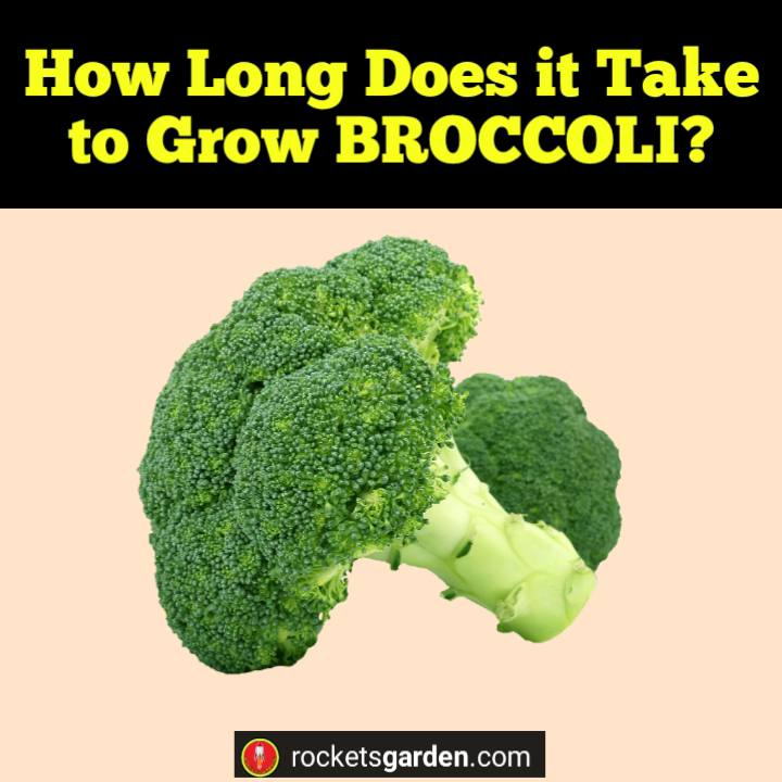 How Long Does it Take to Grow Broccoli?