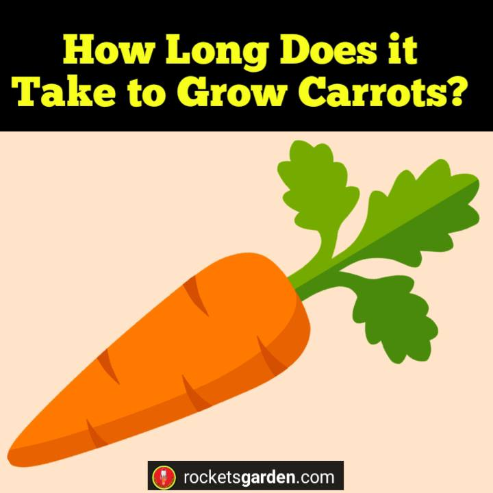 How Long Does it Take to Grow Carrots