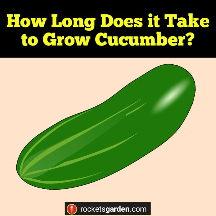 How Long Does it Take to Grow Cucumber