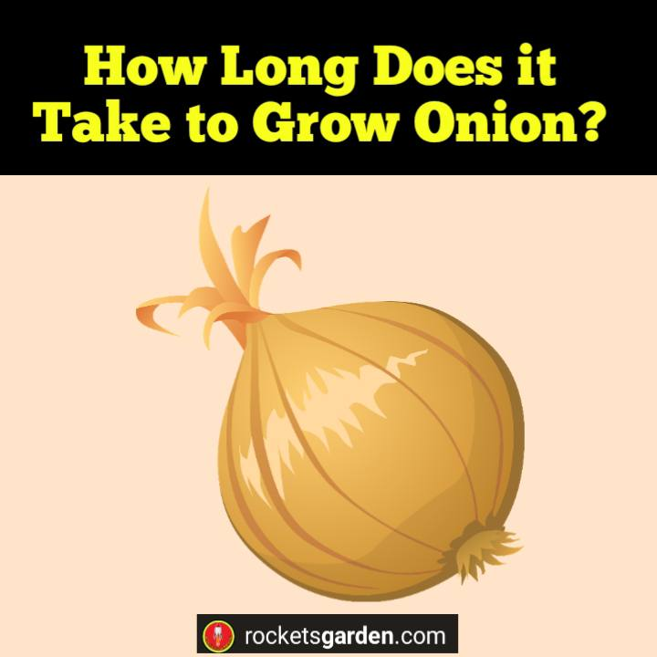 How Long Does it Take to Grow Onion