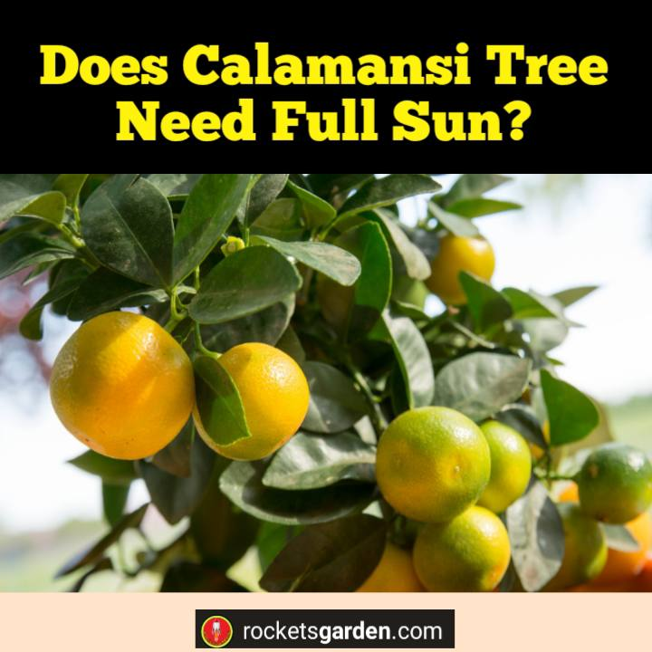Does Calamansi Tree Need Full Sun