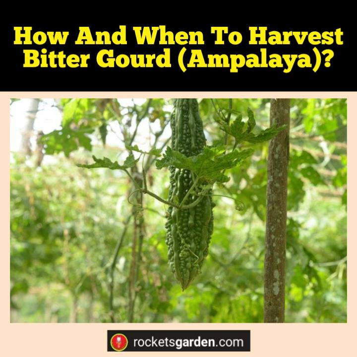 how and when to harvest bitter gourd ampalaya