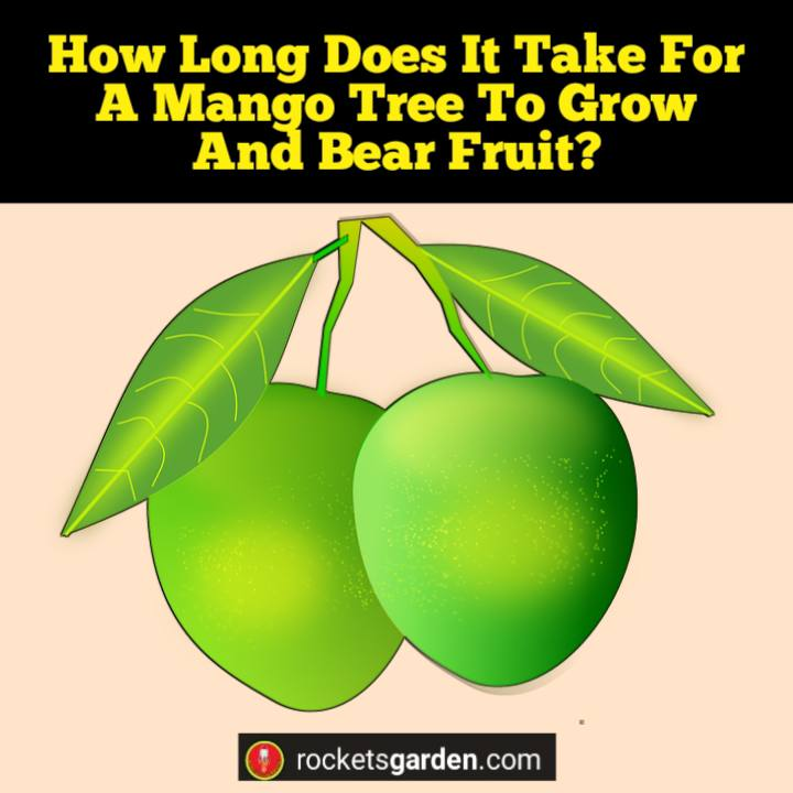 how long does it take for a mango tree to grow and bear fruit