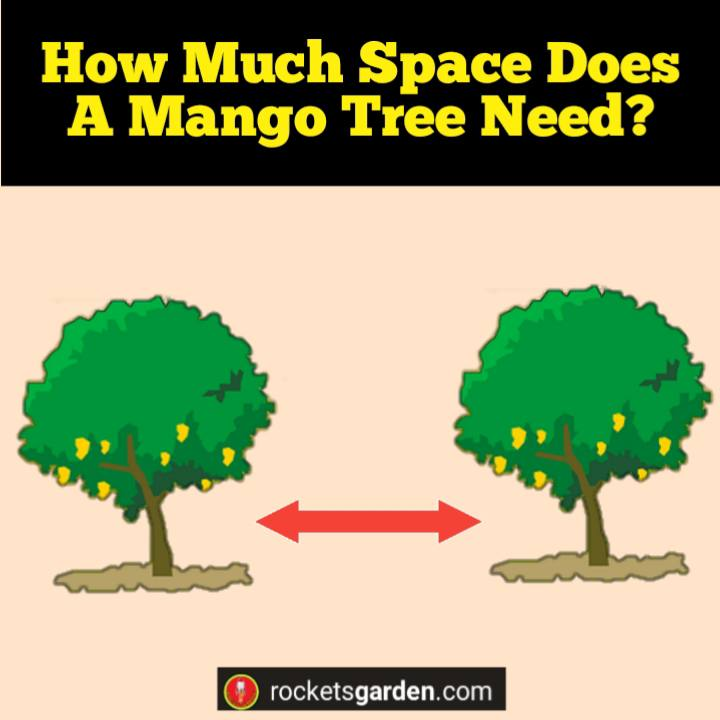 how much does a mango tree need