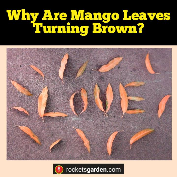 why are mango leaves turning brown